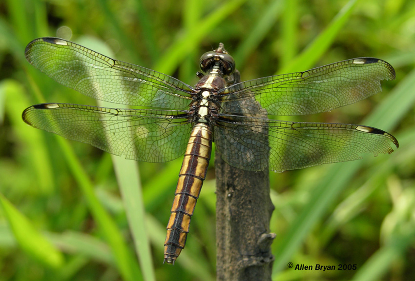Spangled Skimmer- Libellula cyanea - photo#18